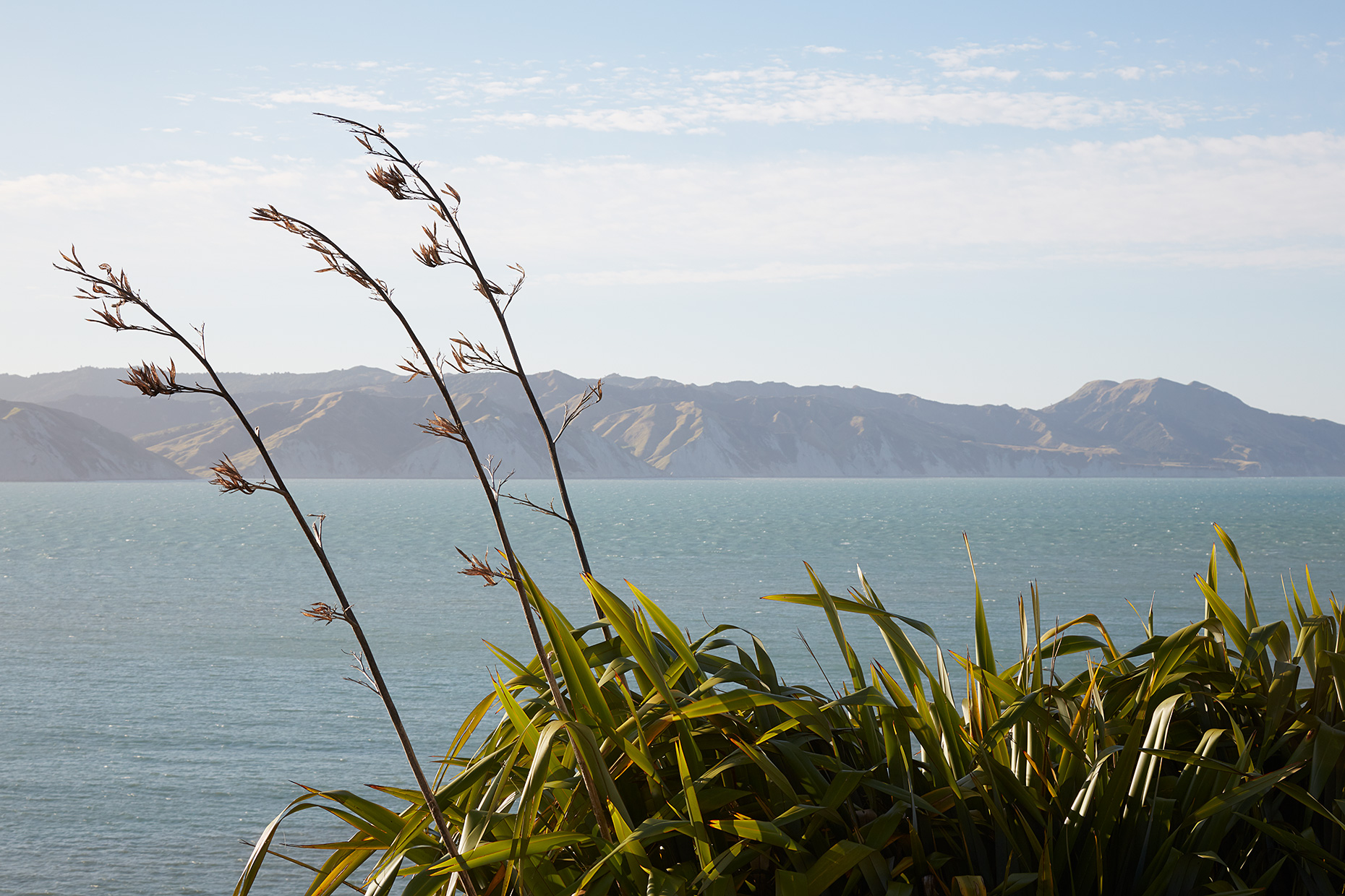 Flax bushes in flower, Mahia, New Zealand, 2020